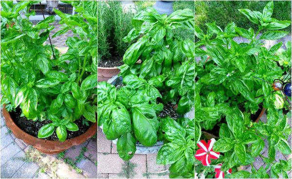 fresh garden basil